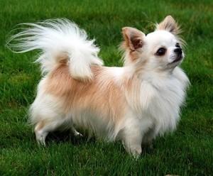 07_racas_de_cachorros_para_apartamento_Chihuahua