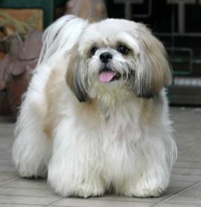 07_racas_de_cachorros_para_apartamento_Lhasa_Apso