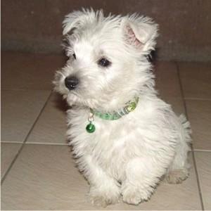 07_racas_de_cachorros_para_apartamento_West _highland_White_Terrier