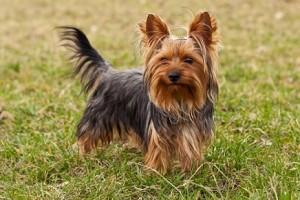 07_racas_de_cachorros_para_apartamento_Yorkshire_Terrier