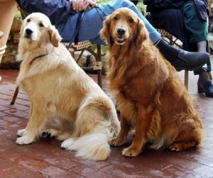 Fotos_de_cachorro_Golden_Retriever_10