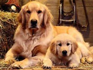Fotos_de_cachorro_Golden_Retriever_11