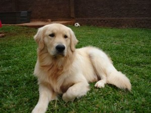 Fotos_de_cachorro_Golden_Retriever_2