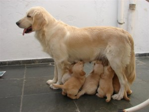Fotos_de_cachorro_Golden_Retriever_3