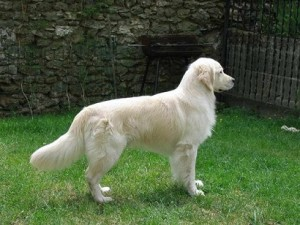 Fotos_de_cachorro_Golden_Retriever_4