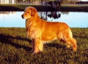 Fotos_de_cachorro_Golden_Retriever_6