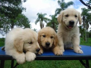 Fotos_de_cachorro_Golden_Retriever_7