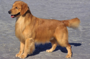 Fotos_de_cachorro_Golden_Retriever_8