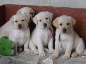 Fotos_de_cachorros_filhotes_11