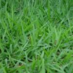 Dicas de como plantar grama esmeralda