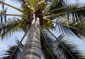Fotos coqueiros para jardins pequenos