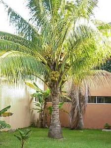 Fotos coqueiros para jardins pequenos Cocos Nucifera