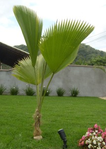 otos coqueiros para jardins pequenos Palmeira leque de fiji