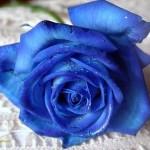 Dicas de fotos de flores azuis