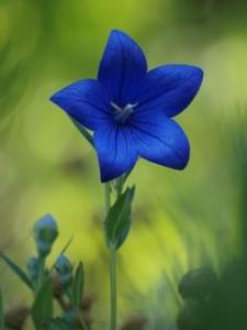 Dicas_de_fotos_de_flores_azuis_11