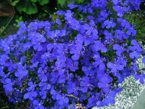 Dicas_de_fotos_de_flores_azuis_5