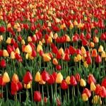 Fotos de Tulipas Vermelhas e Amarelas