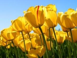 Fotos_de_tulipas_vermelhas_e_amarelas_10