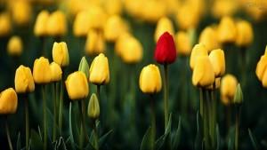 Fotos_de_tulipas_vermelhas_e_amarelas_11