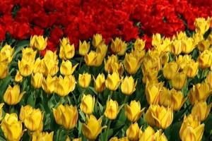 Fotos_de_tulipas_vermelhas_e_amarelas_12