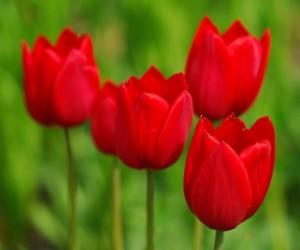 Fotos de tulipas vermelhas e amarelas 2