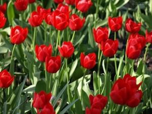 Fotos_de_tulipas_vermelhas_e_amarelas_3