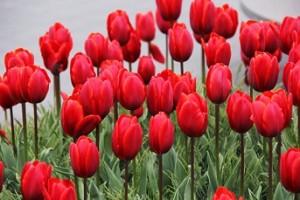 Fotos_de_tulipas_vermelhas_e_amarelas_4