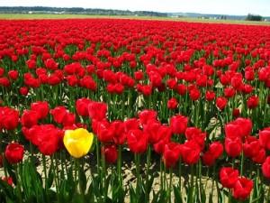 Fotos_de_tulipas_vermelhas_e_amarelas_5