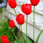 Fotos_de_tulipas_vermelhas_e_amarelas_6