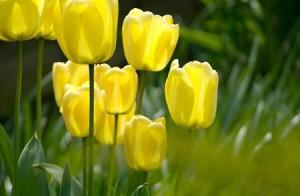 Fotos_de_tulipas_vermelhas_e_amarelas_8