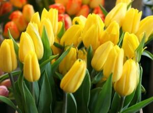 Fotos_de_tulipas_vermelhas_e_amarelas_9