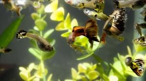 Fotos de peixes ornamentais em aquários 10