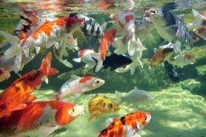 Fotos de peixes ornamentais em aquários 3