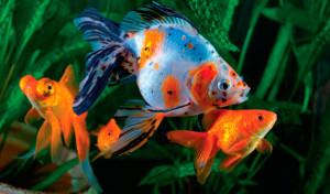 Fotos de peixes ornamentais em aquários 4