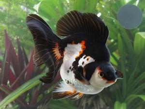 Fotos de peixes ornamentais em aquários 7