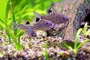 Fotos de peixes ornamentais em aquários 9