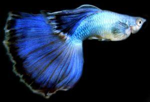 Como criar e reproduzir o peixe Guppy