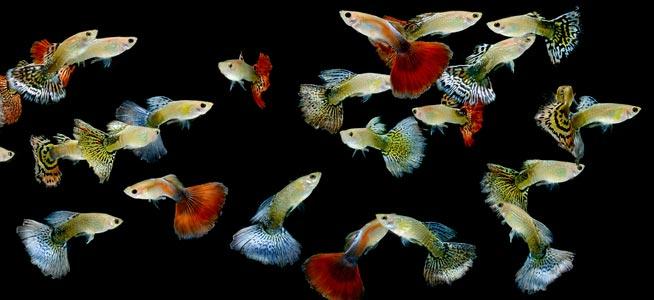 Como criar e reproduzir o peixe Guppy 2