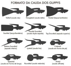Como criar e reproduzir o peixe Guppy 3