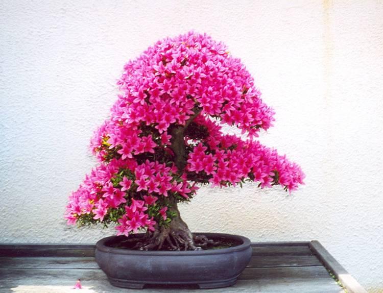 dicas de onde comprar bonsai online