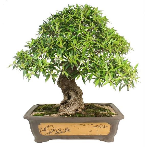 comprar bonsais baratos online