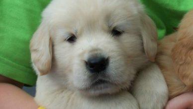 Achar Cachorro Golden Filhote - Preço
