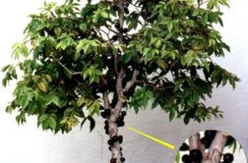Onde Comprar Bonsai de Jabuticaba - Como Cuidar e Preço